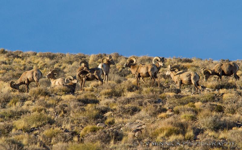 Desert Bighorn Batchelor Herd