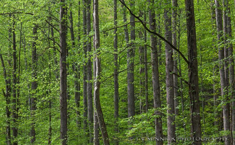Smokies Forest